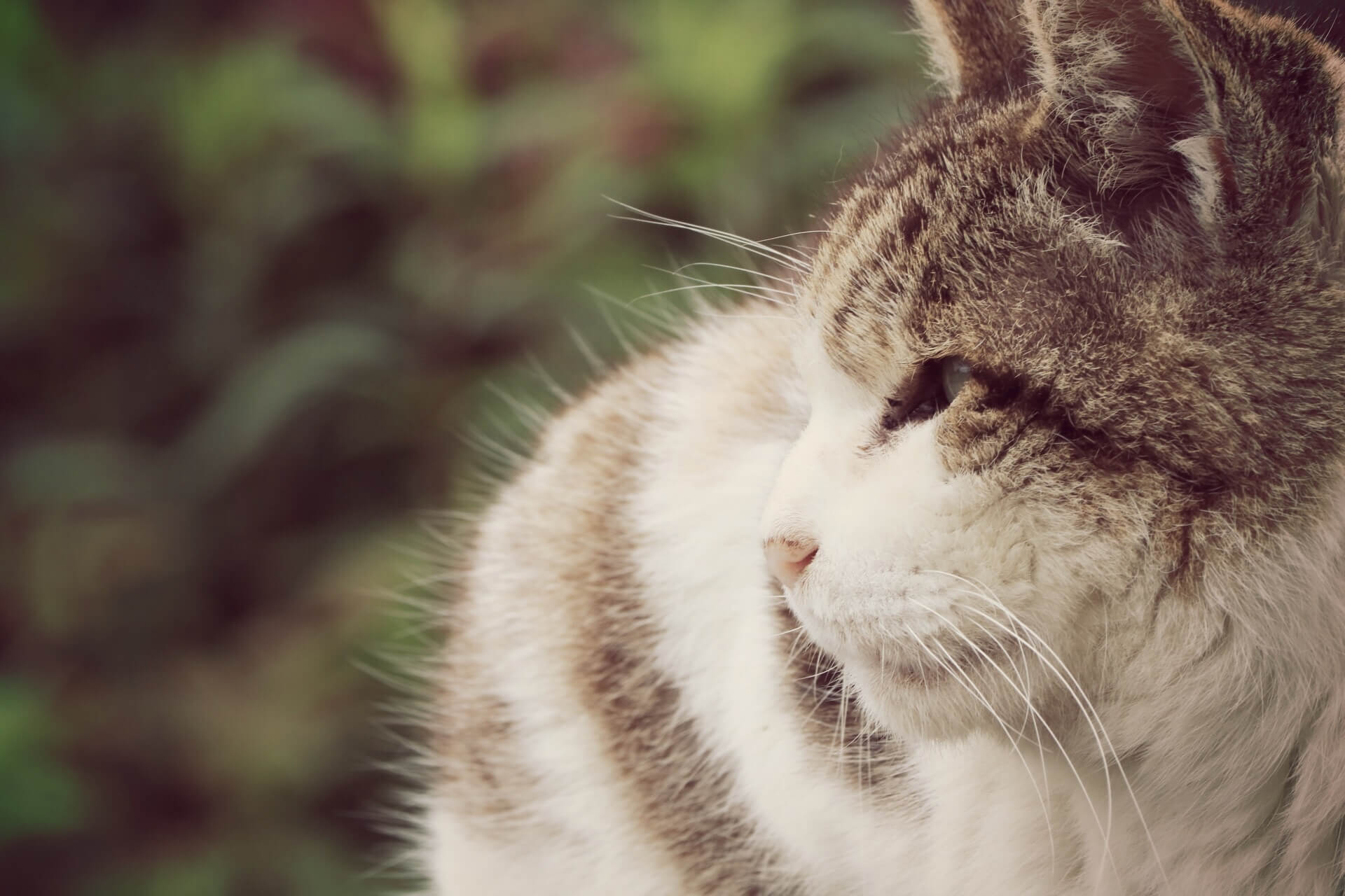 遠くを見つめる老猫