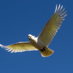 羽ばたくキバタン