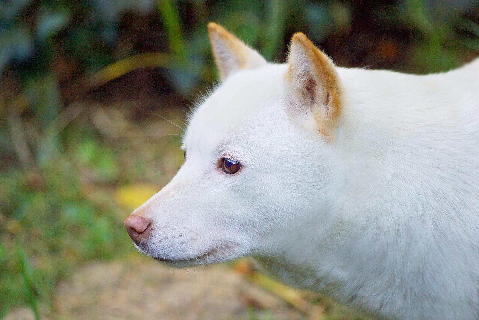 横を向いた北海道犬