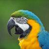 【鳥】ルリコンゴウインコの性格の3大特徴!しつけのコツと注意点