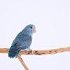 【鳥】マメルリハの性格の3大特徴!しつけのコツと注意点