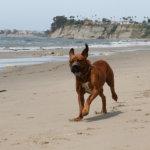 土佐犬走る海辺